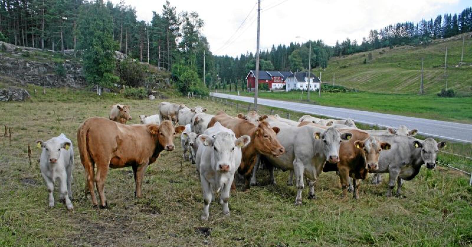 Kjøttstrid: Framtiden i våre hender vil ha bønder til å slutte med husdyr og seier ammekyr, som her ved Vennesla i Vest-Agder, er særleg skadeleg for klimaet. Foto: Bjarne Bekkeheien Aase