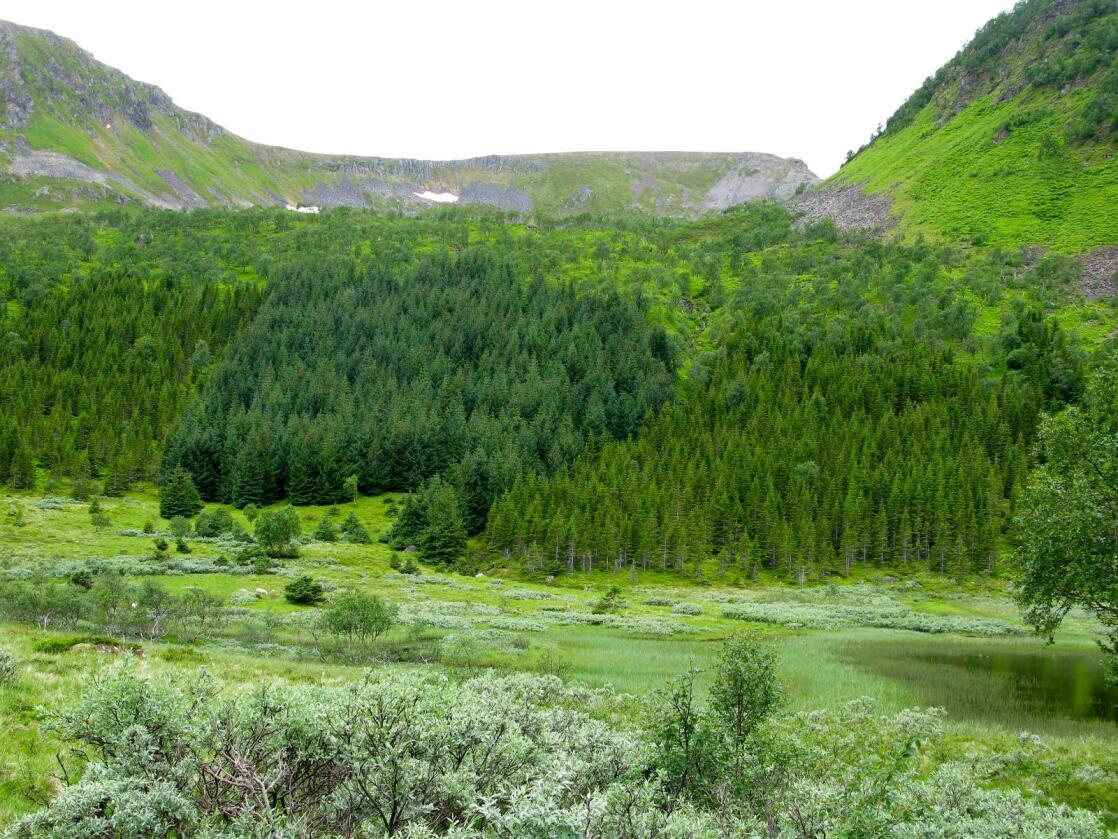 Regjeringen har fra og med 2015 satt i gang et treårig pilotprosjekt, med planting av skog på nye områder, gjødsling av skog, tettere planting etter hogst og skogplanteforedling. 33 millioner kroner er satt av til dette i 2016. (Foto fra Råvollmarka i Hadsel: Arne Steffenrem, Nibio)