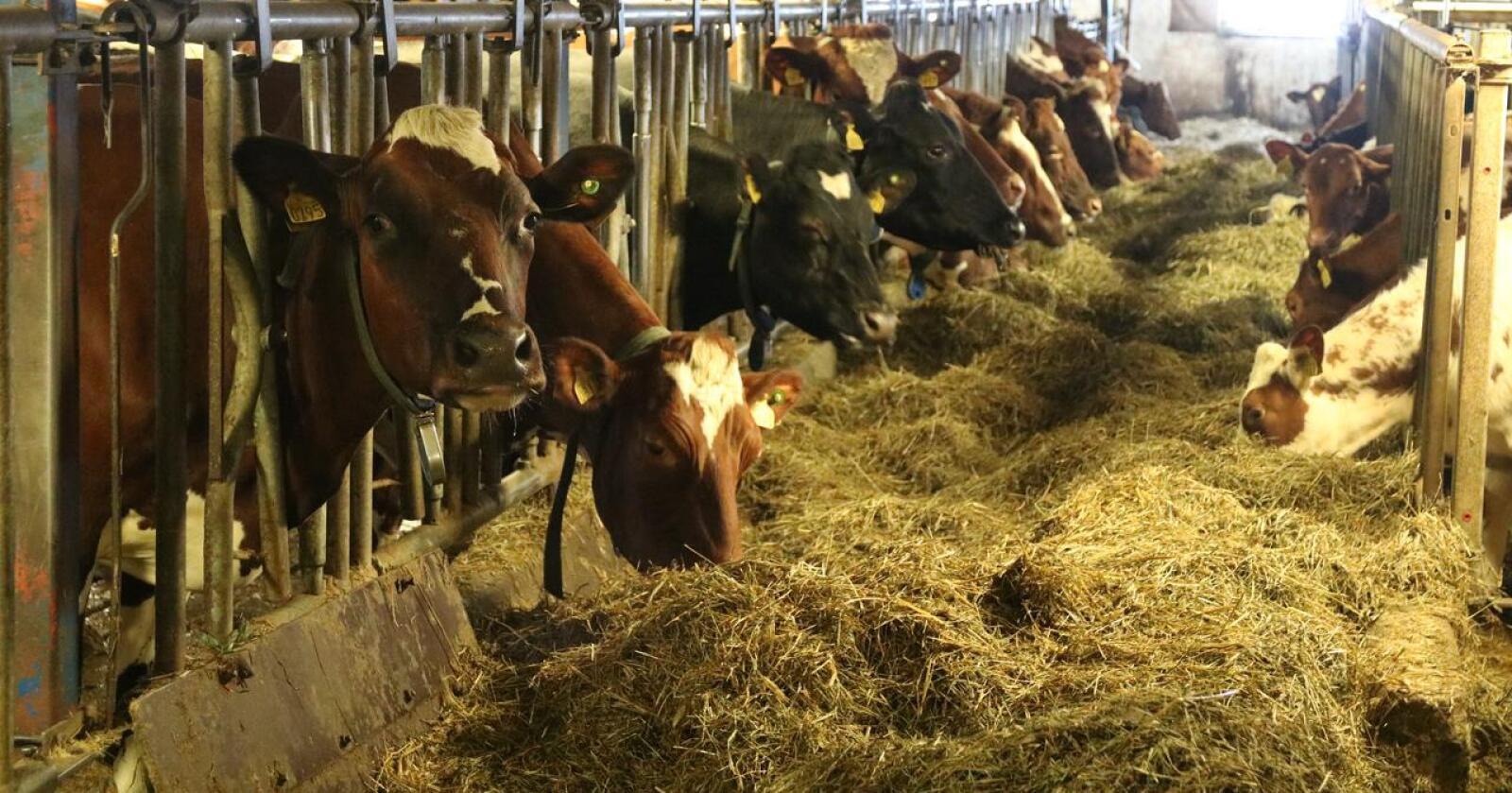 MYE: Kostnader til fôr utgjør en stor del av utgiftene i melkeproduksjonen. Arkivfoto: Norsk Landbruk