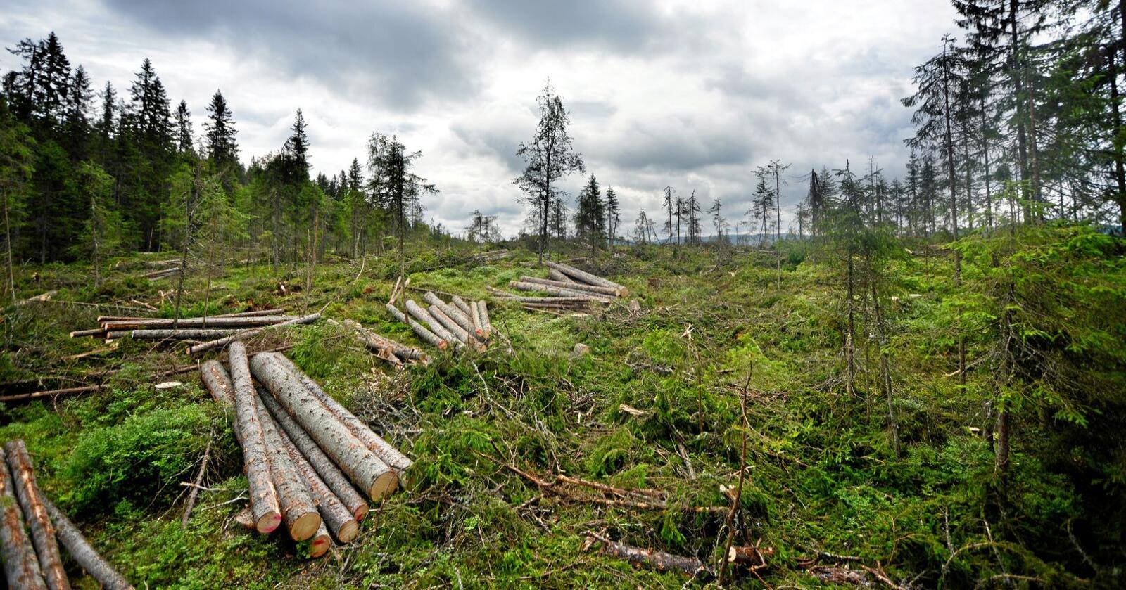 Skog: Kan spille en rolle som fornybar ressurs i det grønne skiftet. Foto: Siri Juell Rasmussen