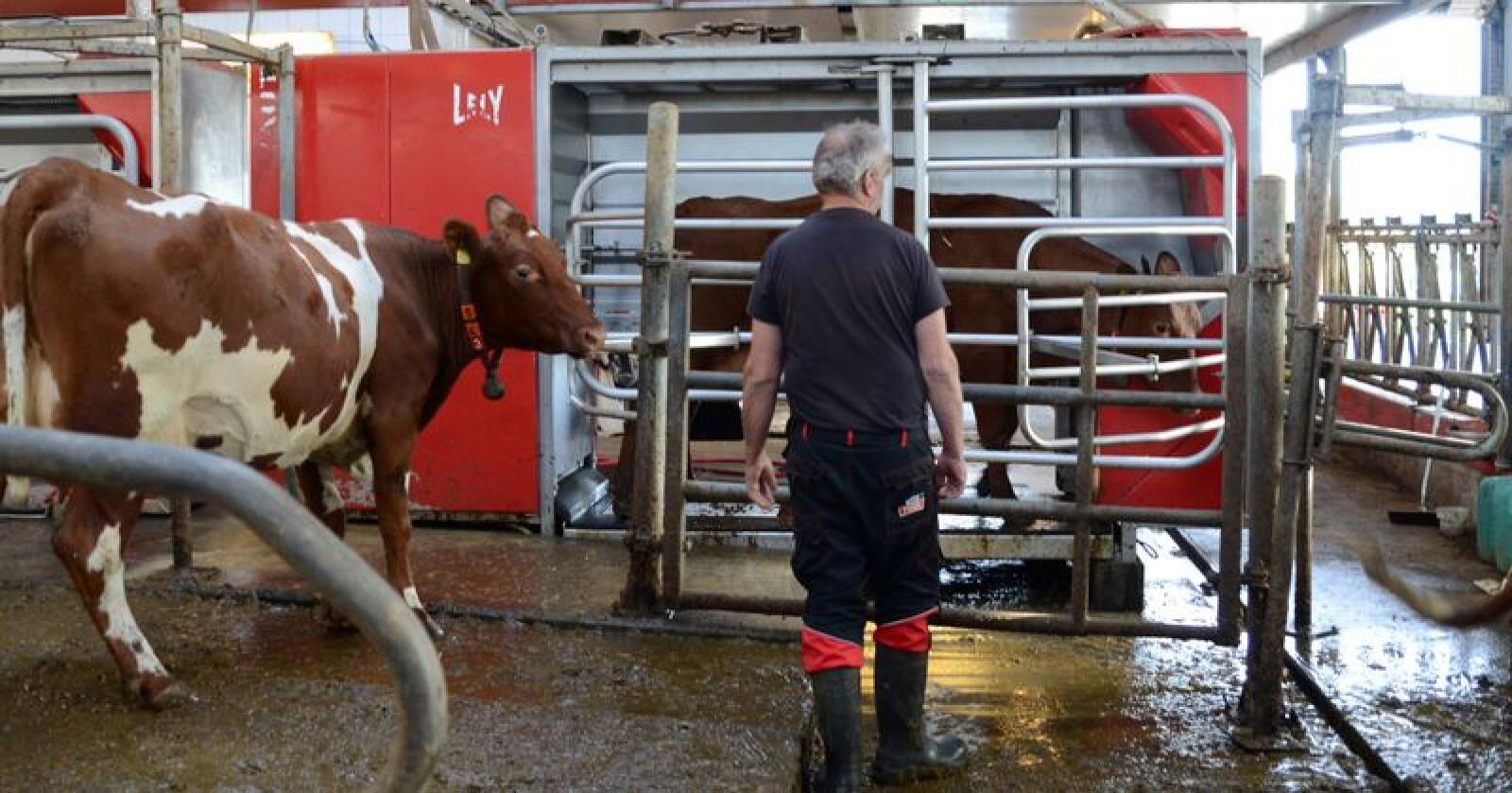 Trøndelag har stått for den største nedgangen i mjølkeproduksjonen så langt i år. Illustrasjonsfoto: Liv Jorunn D. Sagmo