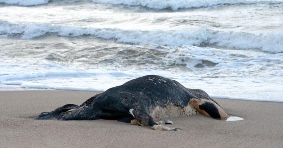 Ei død ku ble skylt i land i Ystad i Sverige 2014. Kua ble dumpet fra en båt som tranporterte levende dyr. Foto: Johan Nilsson / TT / NTB scanpix