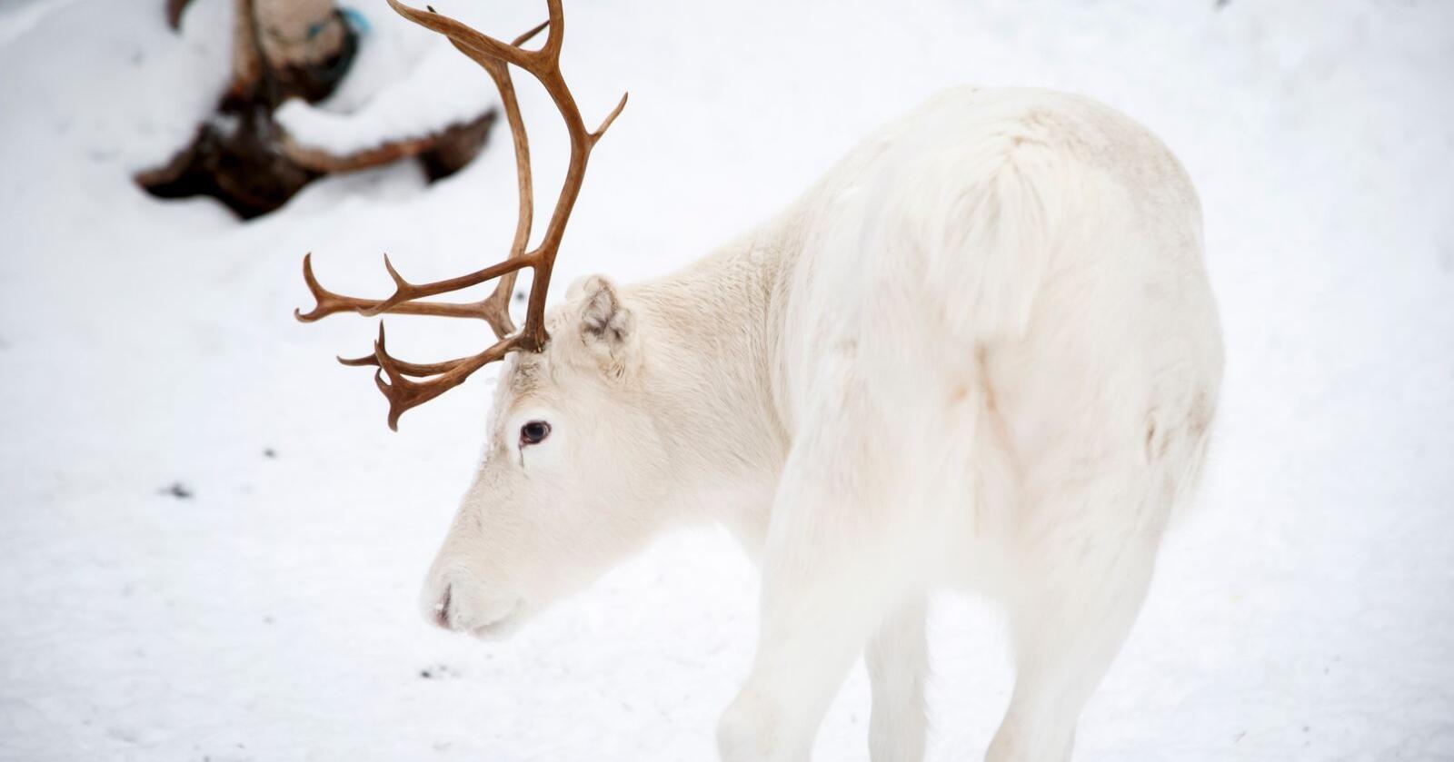 Tidligere i februar ble det erklært beitekrise i deler av Finnmark, og nå har det også kommet til deler av Nordland. Foto: Heiko Junge / NTB scanpix