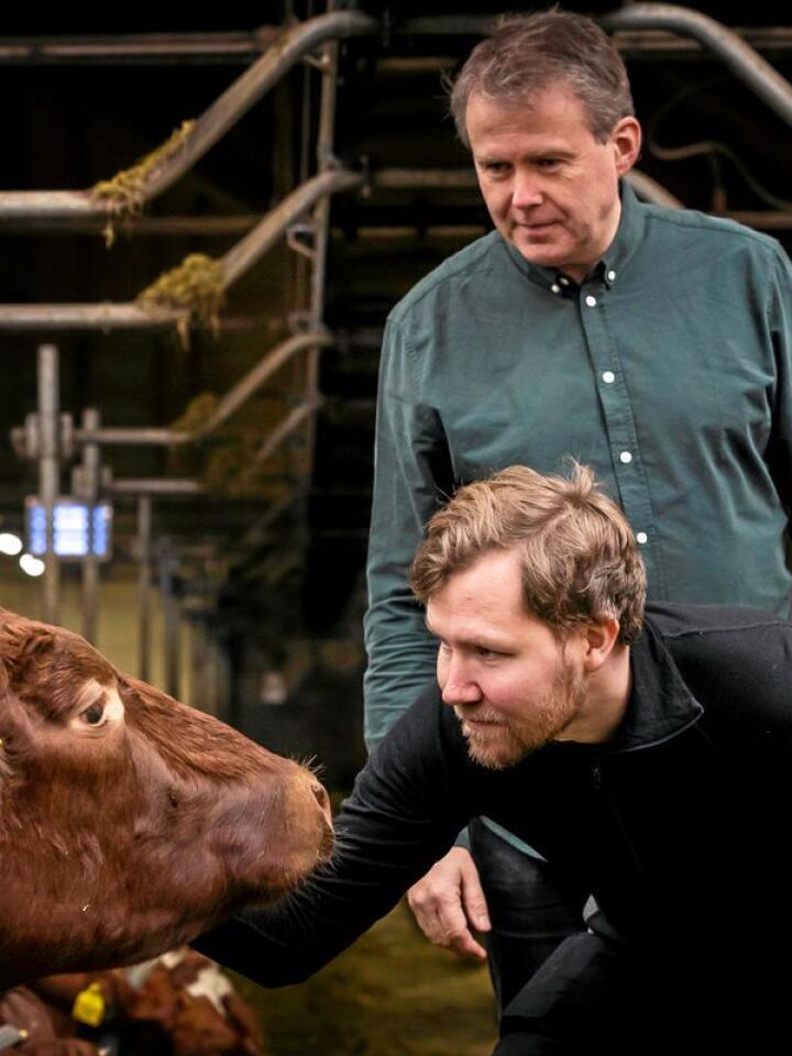 Ved å fange opp metangass som slipper ut når kyr raper på båsen, vil forskerne Tor Olav Sunde (foran) og Yngve Larring utnytte ubrukt energi – og spare klimagassutslipp i samme slengen. Her er de i fjøset på Bygdø Kongsgård som er med på forskningsprosjektet. Foto: Werner Juvik / Sintef