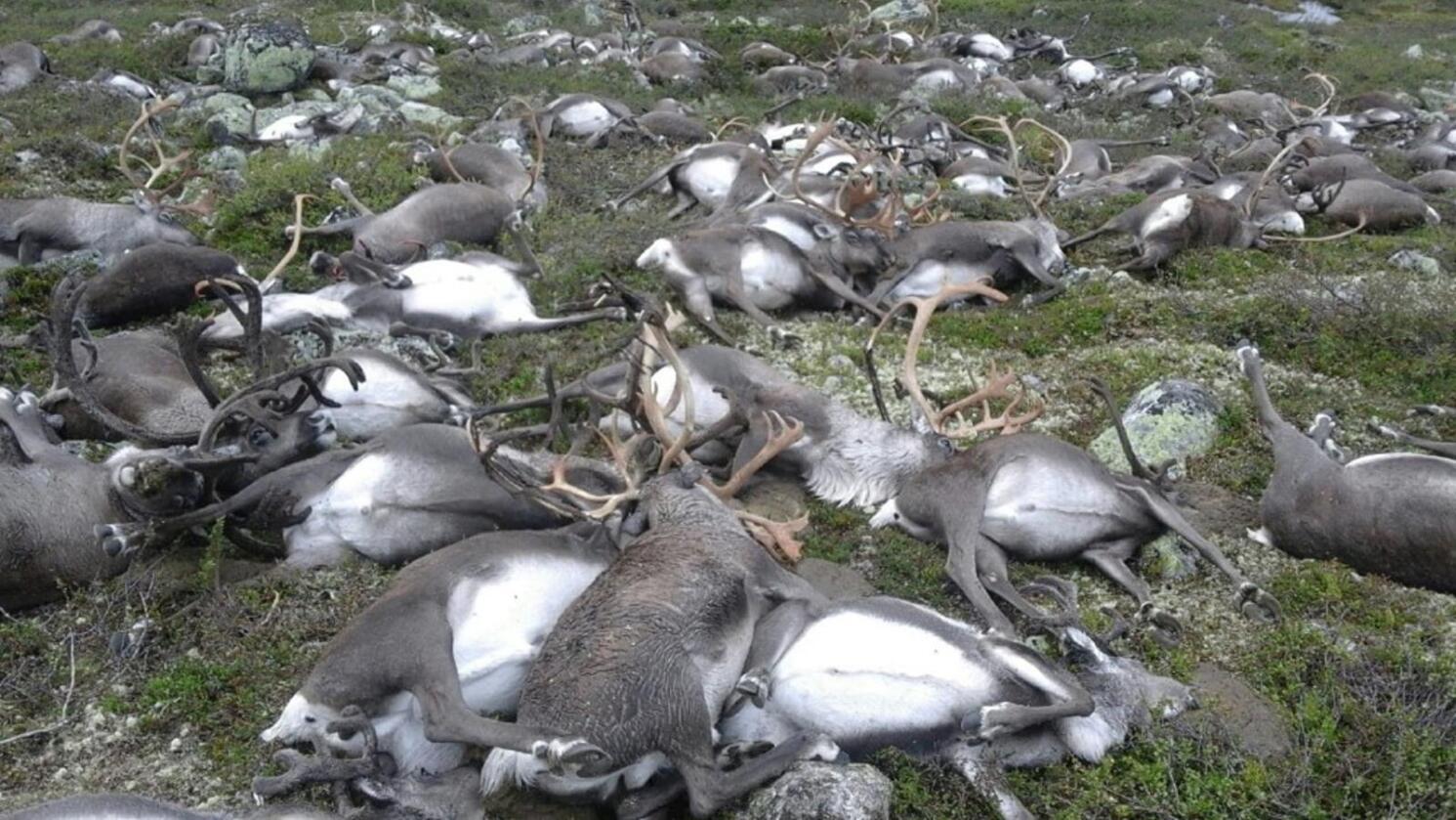 Lynnedslag er trolig årsaken til at 322 reinsdyr ble funnet døde på lite område sør på Hardangervidda. En jaktoppsynsmann oppdaget dyretragedien på en rutinetur i fjellet. Foto: Håvard Kjøntvedt / Statens naturoppsyn / NTB scanpix