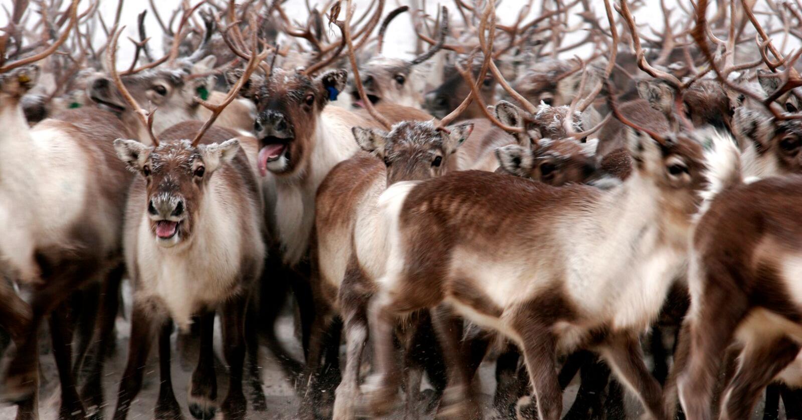 Skrantesjuke har vært påvist hos reinsdyr, elger og én hjort i Norge, Sverige og Finland. Resultatene til Veterinærinstituttet viser at det eksisterer variasjon med ulike stammer av CWD-prioner hos hjortedyr. (Foto: Mattilsynet)