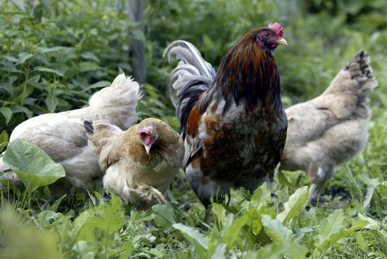 Det er for tiden forbudt å la høns og annet fjørfe gå utendørs under åpen himmel. Snart kan imidlertid portforbudet bli opphevet. Foto: Terje Bendiksby / NTB scanpix