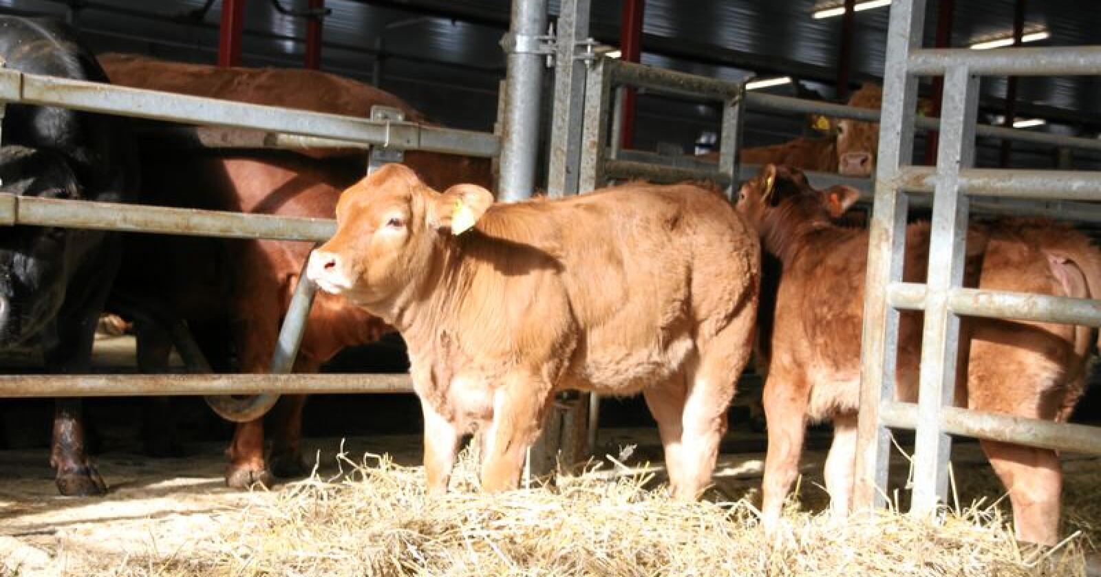 Feilplassert: 4 av 10 ammekyr finnes i korndyrkingsområder, skriver innsenderen. Foto: Lars Bilit Hagen