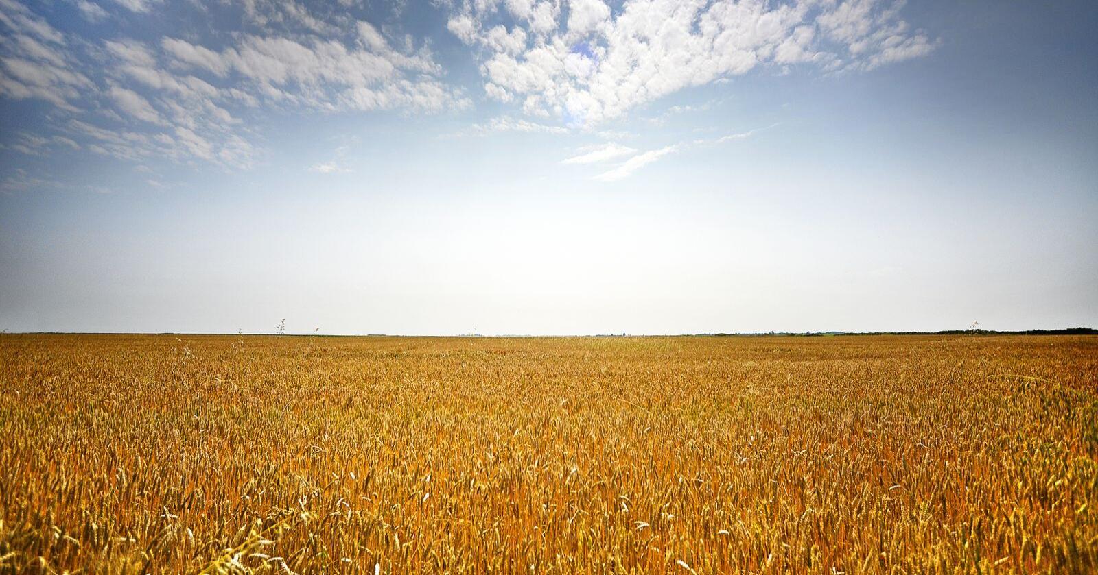 Flere land setter begrensninger på eksport i forbindelse med koronakrisen. Bildet er fra kornproduksjon i Romania. Foto: Siri Juell Rasmussen