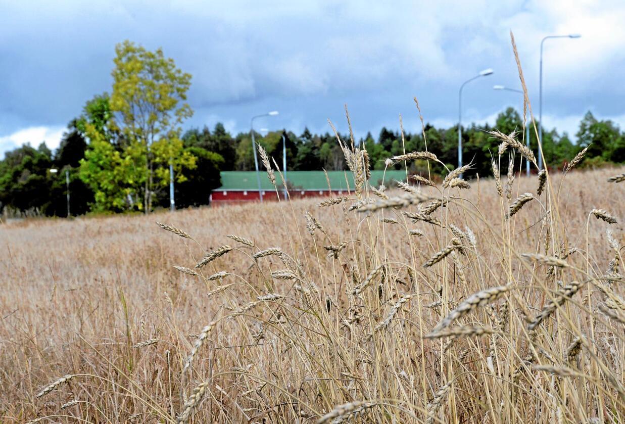 Korn som kan brukes til å brødfø den norske befolkningen, vil bli stadig viktigere å ta vare på, mener Stortingsflertallet. Foto: Mariann Tvete