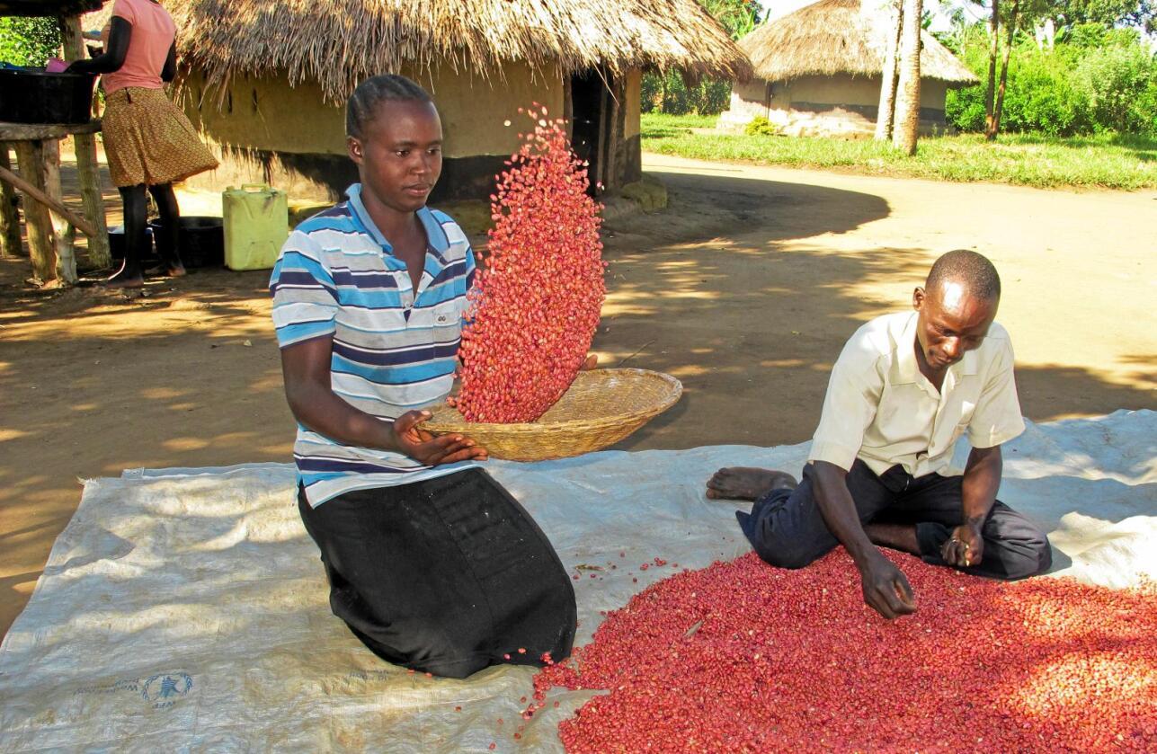 Gull verdt: Den ugandiske bonden Richard Opio og hans kone (ikke navngitt) rapporterer at de fikk tre ganger så mye bønner fra Nabe15-bønnen som fra bønnearten de hadde dyrket i forrige sesong. Alle foto: Rodney Muhumaza / AP / NTB Scanpix