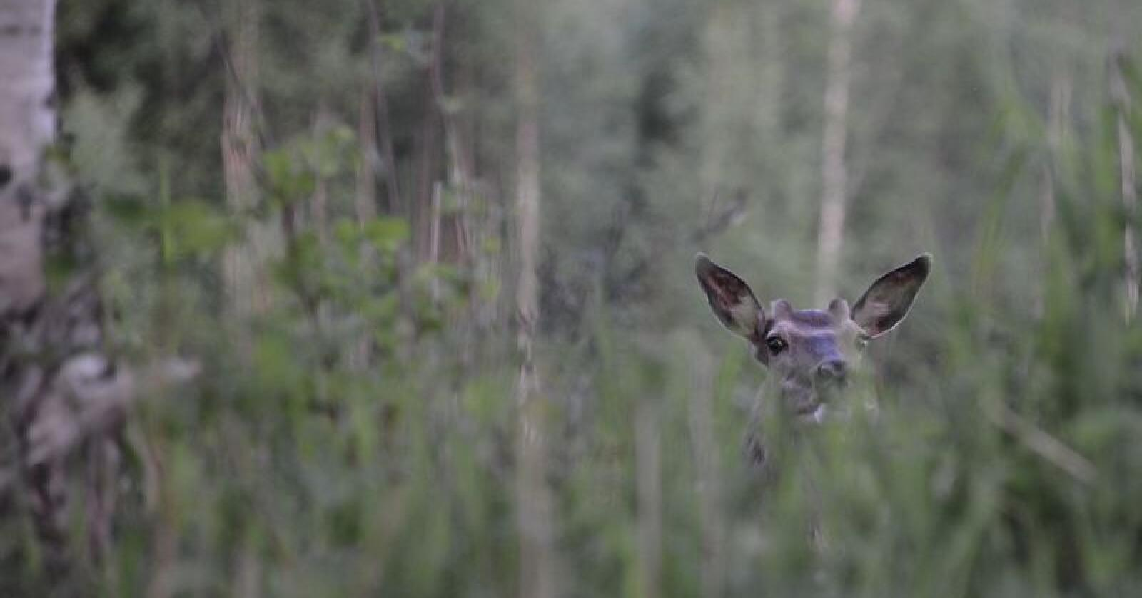 Gnager: Hjort skader både planter og voksne trær. Foto: Picasa