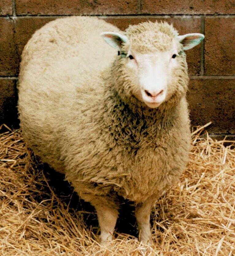 Dolly sjokkerte verden da hun ble født. I dag er sauen utstoppet og står på museum i Skottland. Foto: NTB scanpix