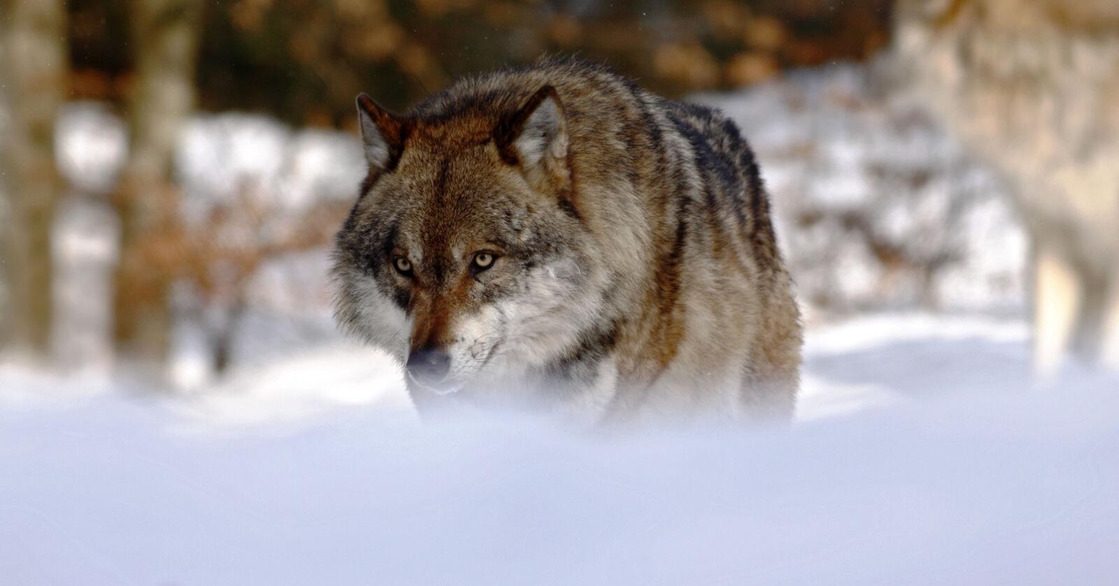 I strid: Naturvernforbundet mener at denne ulvejakten er i strid med Bernkonvensjonen, naturmangfoldloven og stortingsforlikene om norsk rovdyrpolitikk, skriver Arnodd Håpnes. Foto: Mostphotos