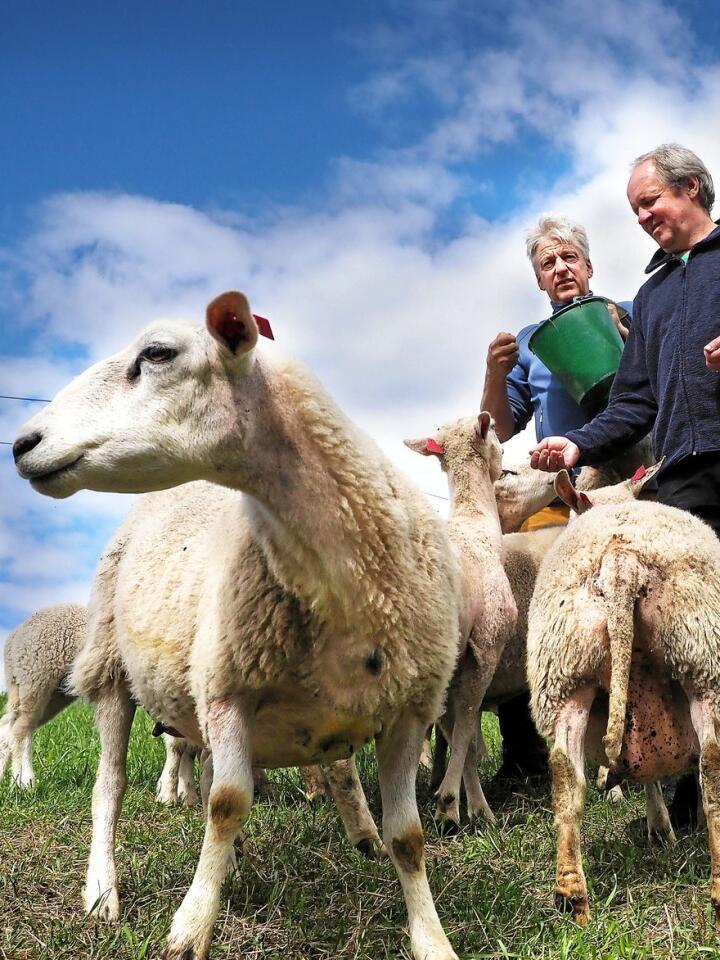 Stein Bentstuen og Audun Knutsen skal slippe sauene på utmarksbeite om noen dager.Foto: Siri Juell Rasmussen