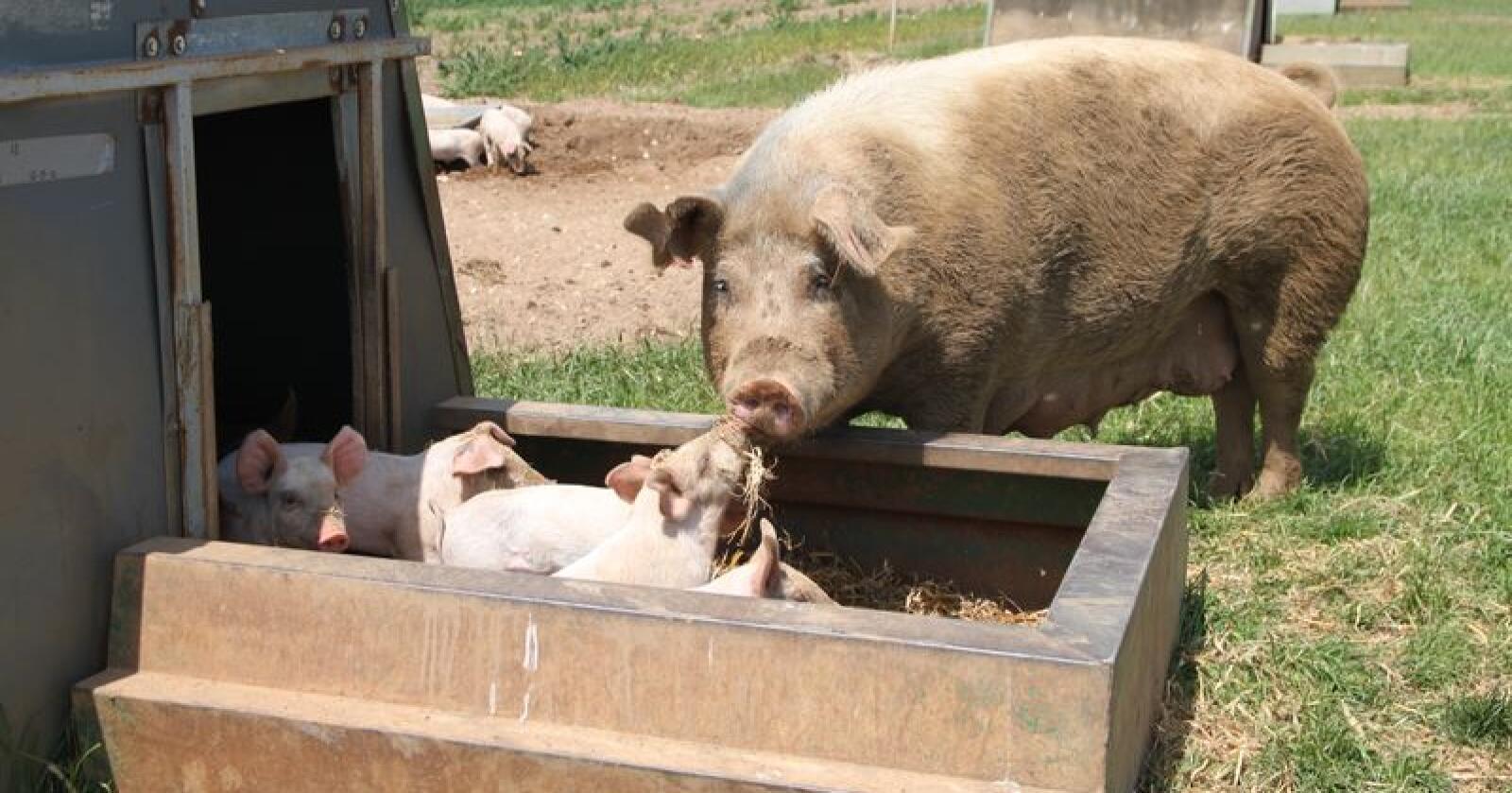 Kina er fra før Storbritannias største marked for eksport av svinekjøtt. Men etterspørselen etter griselabber, ellers svineføtter, er noe nytt. På bildet sees britisk frilandsgris. Illustrasjonsfoto: Øystein Heggdal/Norsk Landbruk