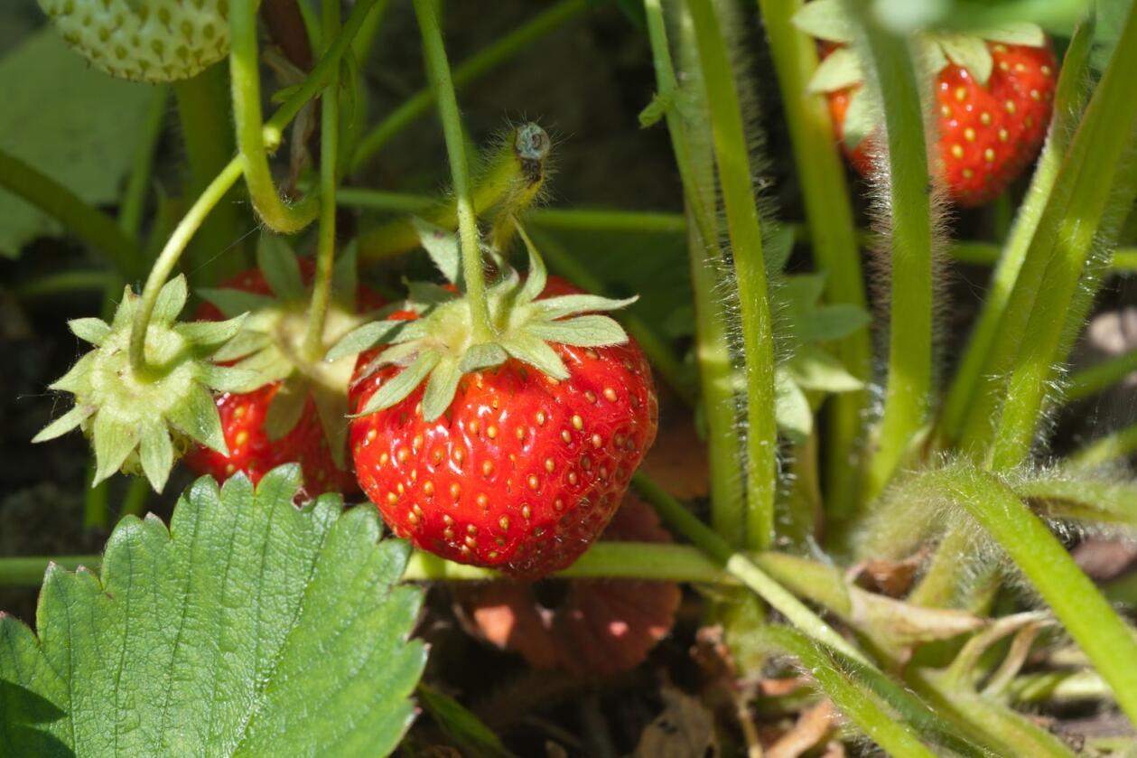 Arealet med jordbær er for første gang de siste ti årene under 10.000 dekar i Danmark. Foto: Mostphotos