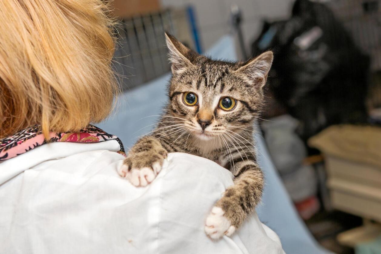 Ein heimlaus katt hos dyrlegen. Foto: Colourbox