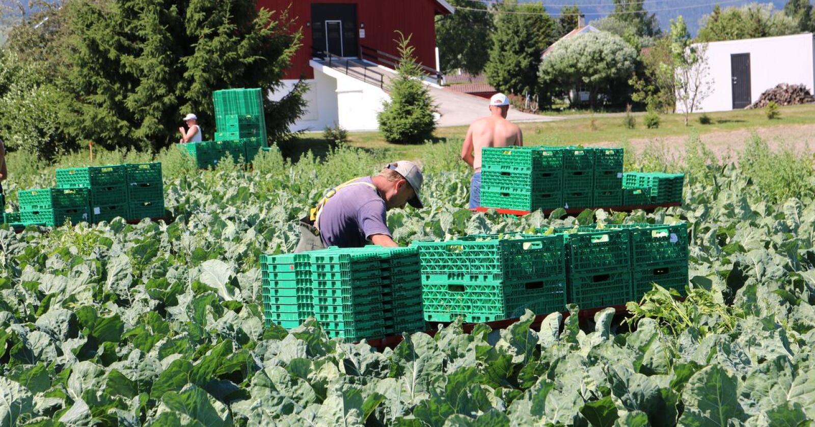 Kritisk: Innreise for drøyt 1 000 utenlandske arbeidere i grøntnæringa er hittil godkjent. Arbeidskraft-behovet vil ikke kunne dekkes av utenlandske, påpeker også Landbruksdirektoratet nå.  (Arkivfoto)