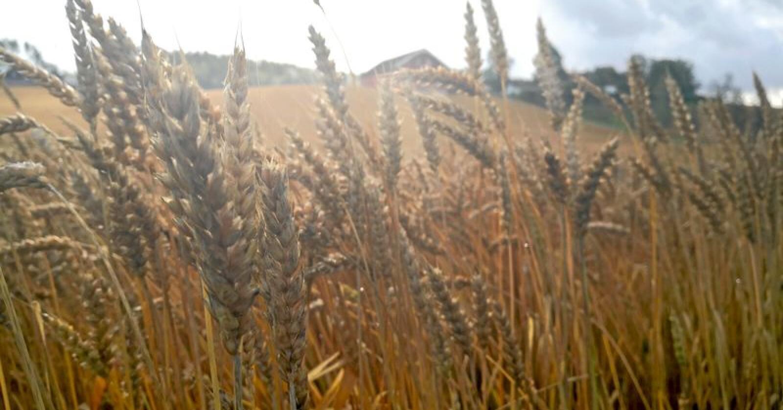 Regjeringen vil ikke innføre et beredskapslager for korn. Foto: Jon-Fredrik Klausen