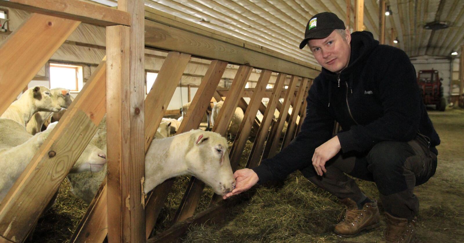 – Vi ser en økende tilstedeværelse av ulv langt utenfor de områder den tidligere har operert i, sier sauebonde Ingvald Landet i Koppang, Innlandet. Foto: Morten Berntsen