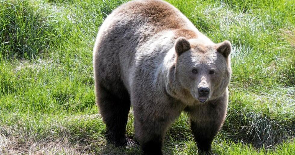 Bjørnejakten nærmer seg i Sverige. Foto: Berit Roald/Scanpix