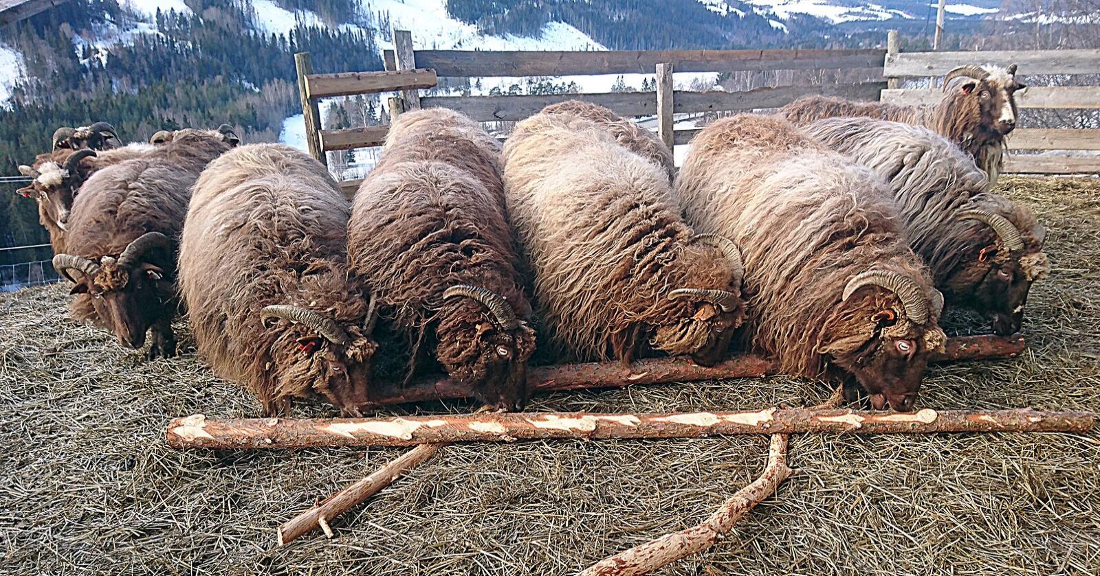 En gruppe forskere i prosjektet BarkCure har funnet at stoffer i bark fra gran og furu kan redusere problemene med innvollsorm og parasitter hos drøvtyggere. Resultatene kan gi både husdyrbruk og norsk skogbruk et skikkelig løft. Her sauer i Heidal som også gjerne spiser naturlig bark fra skogbruket vinterstid.  Foto: Bård Bårdløkken