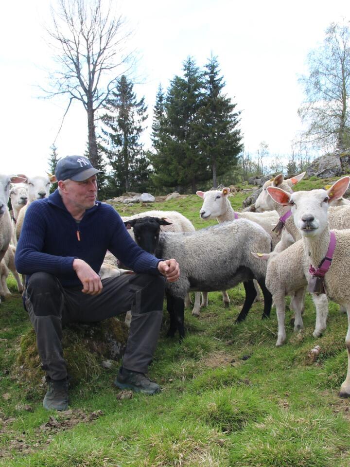 LØSNING: Tormod Skramstad har 660 vinterfôra søyer på Rena i Innlandet. Etter noen år med omfattende leddbetennelsesproblematikk, har han nå funnet en strategi som omtrent har fjernet problemet.