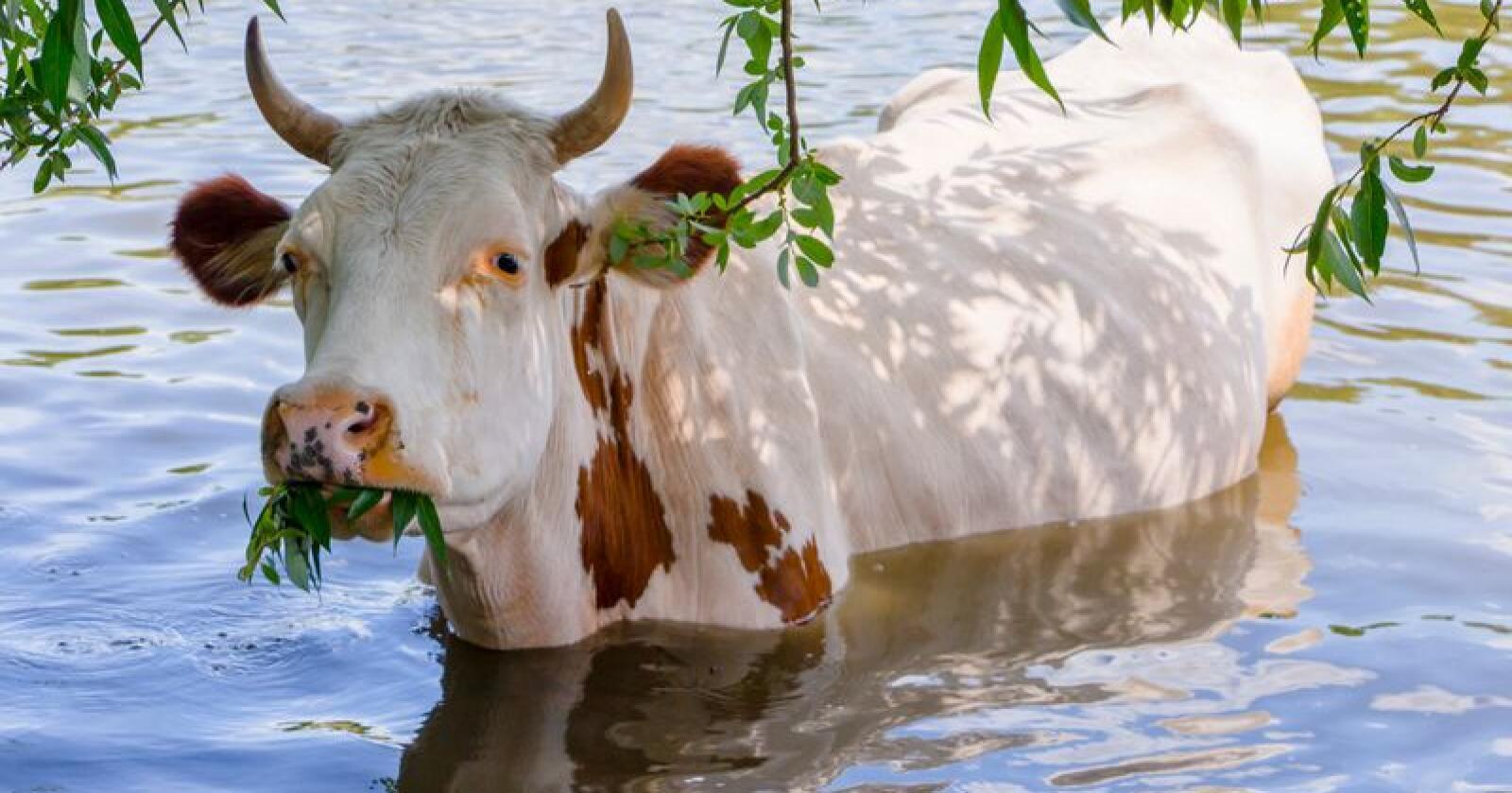 Å kombinere måltidet med et avkjølende bad står nok på noen dyrs ønskeliste denne sommeren. Foto: Illustrasjonsfoto: Mostphotos.