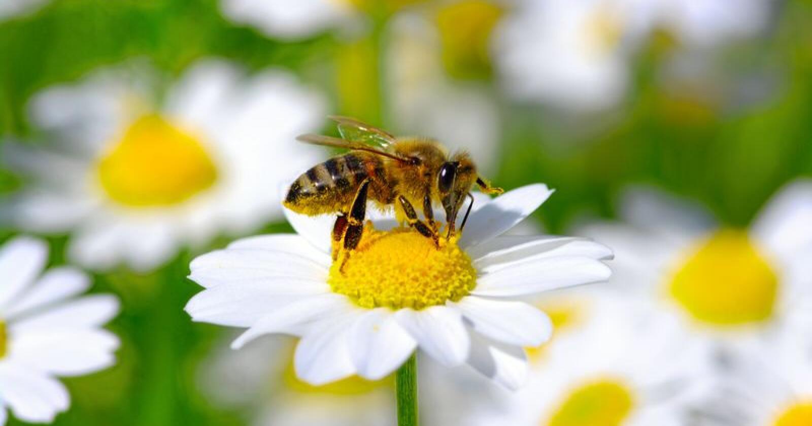 Bier bidrar til spredning avpollen, men forskere slår alarm om spredning av sykdommer. Illustrasjonfoto: Colourbox