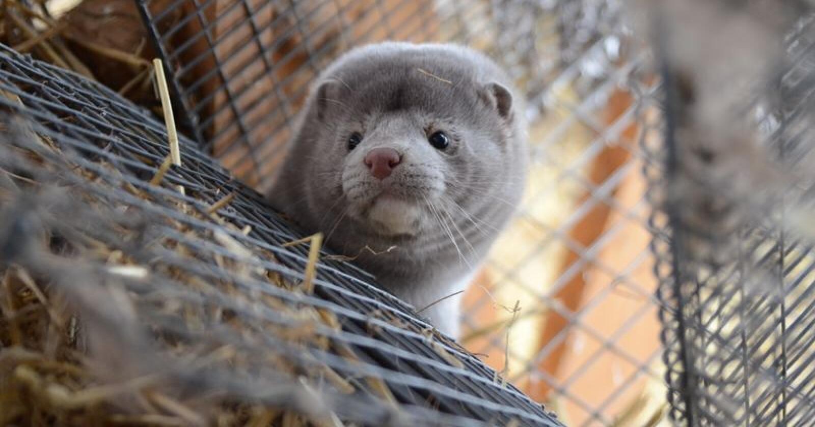 Stortinget behandlet 11. februar 2020 et representantforslag om kompensasjon til pelsdyroppdrettere som følge av forbudet mot hold av pelsdyr. (Foto: Liv Jorunn Denstadli Sagmo)