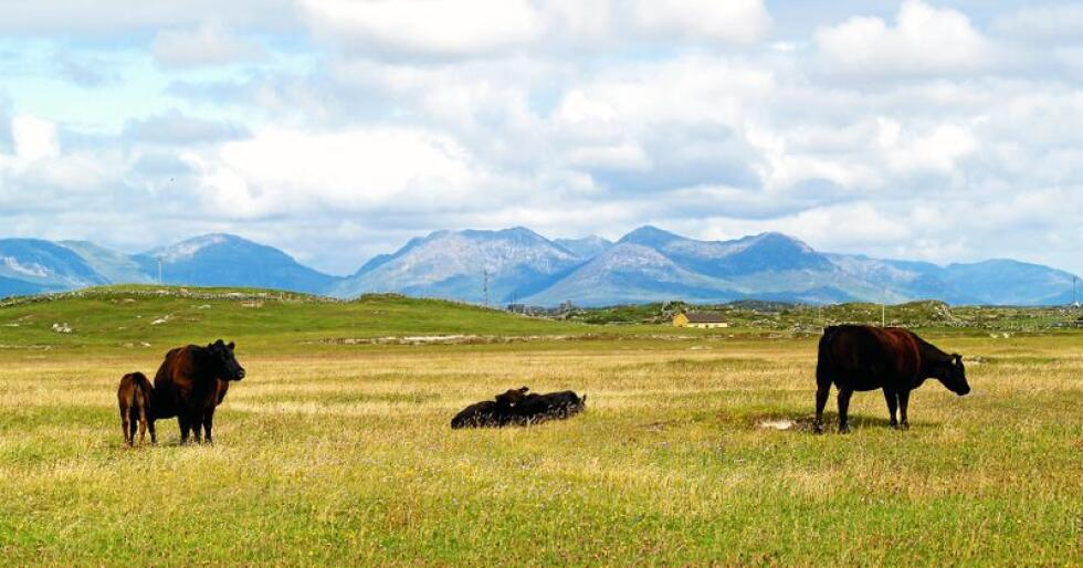 Kyr beitar i Connemara i Irland. Også eit eksportretta irsk jordbruk vil møte utfordringar om frihandelsavtalane med søramerikanske land og med Australia og New Zealand blir ein realitet. Foto: Priit Einbaum / Mostphotos