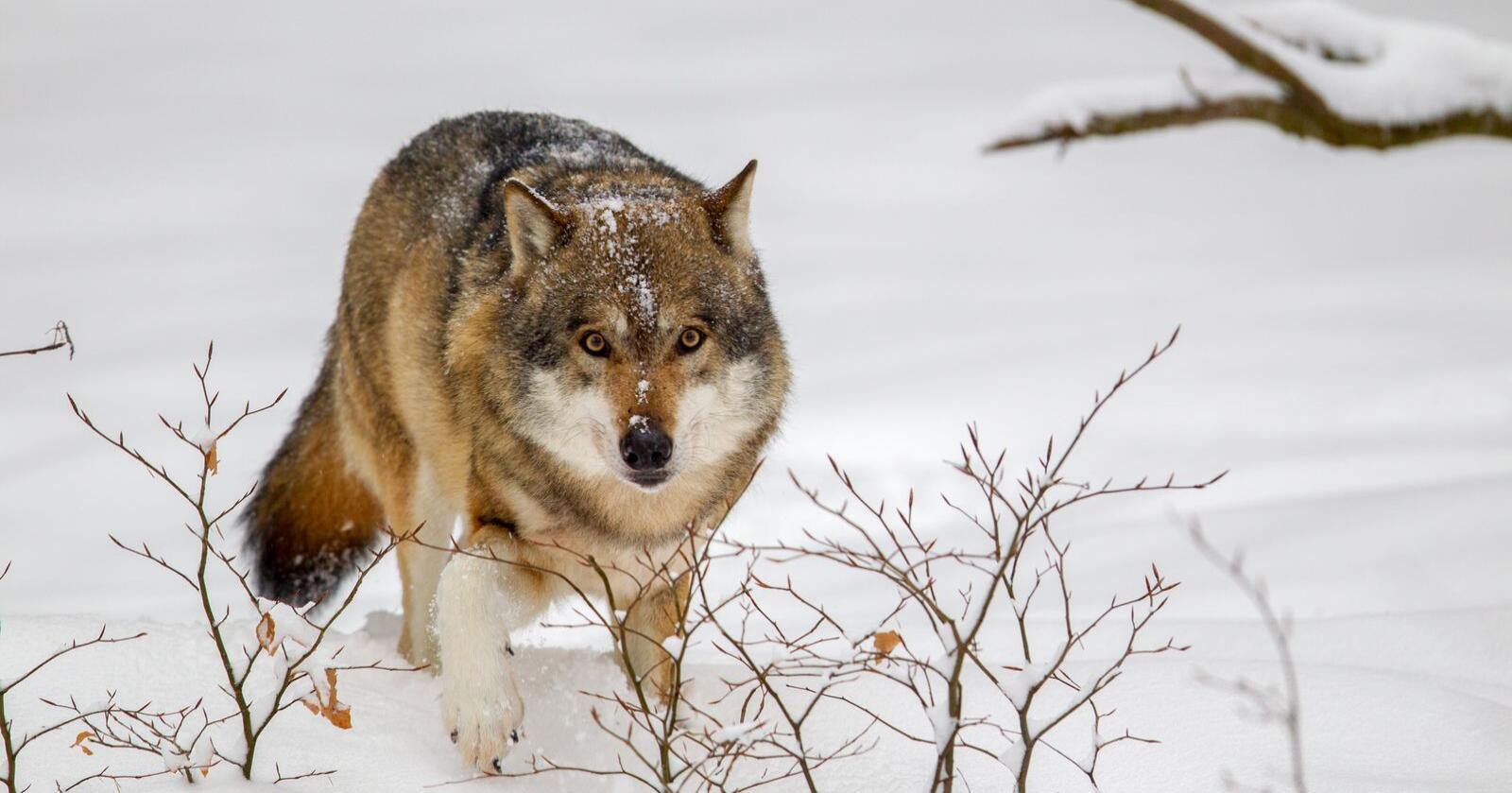 Hver femte ulv forsvinner i Sverige. Forskere tror dette skyldes ulovlig jakt. Foto: Mostphotos
