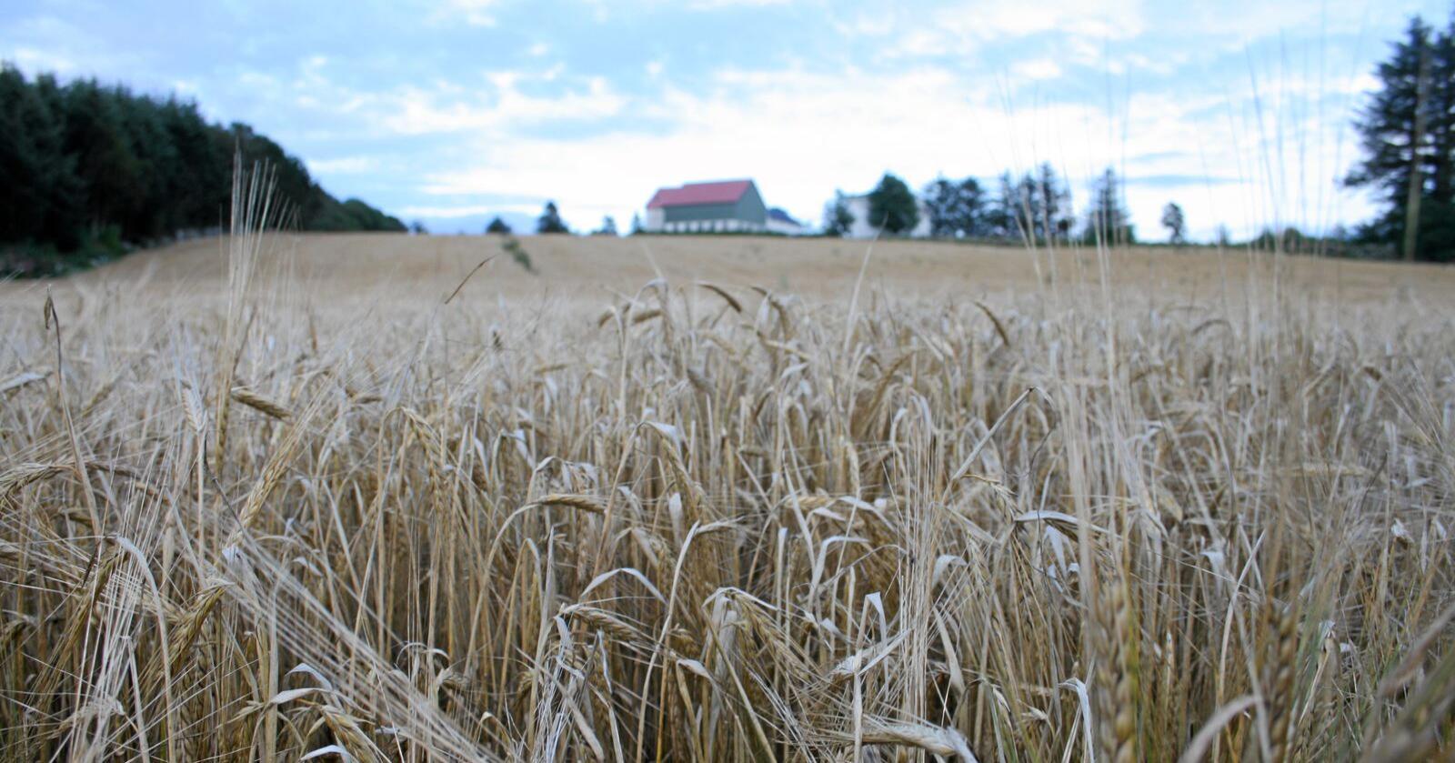 Korneffekt: Veksten i prisar og tilskot varierer sterkt mellom ulike jordbruksvarer. Foto: Bjarne Bekkeheien Aase