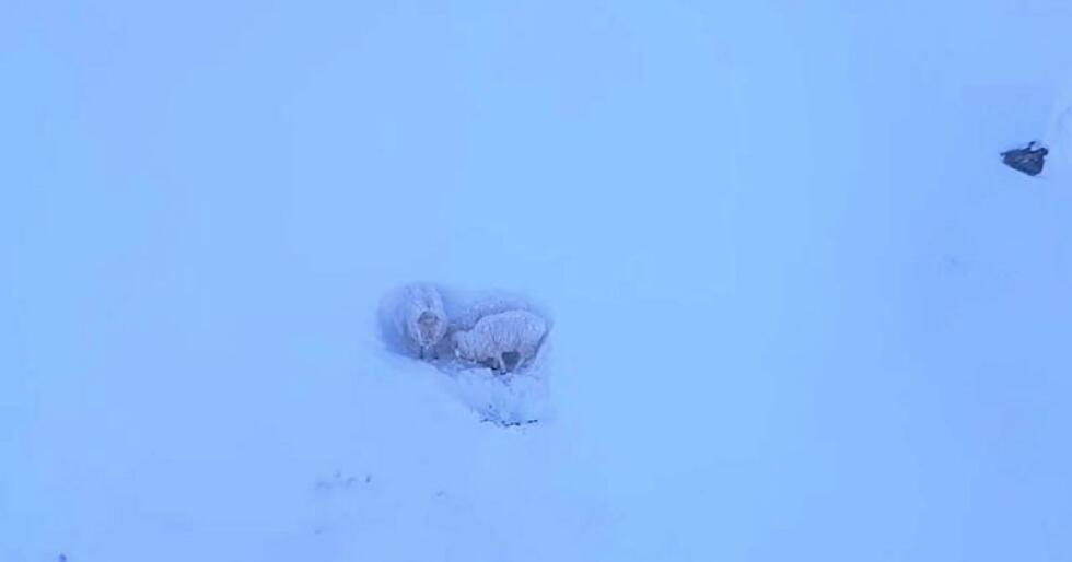 Sauen og dei to lamma står bom fast i fjellet. Foto: Bernt-Ole Berntsen