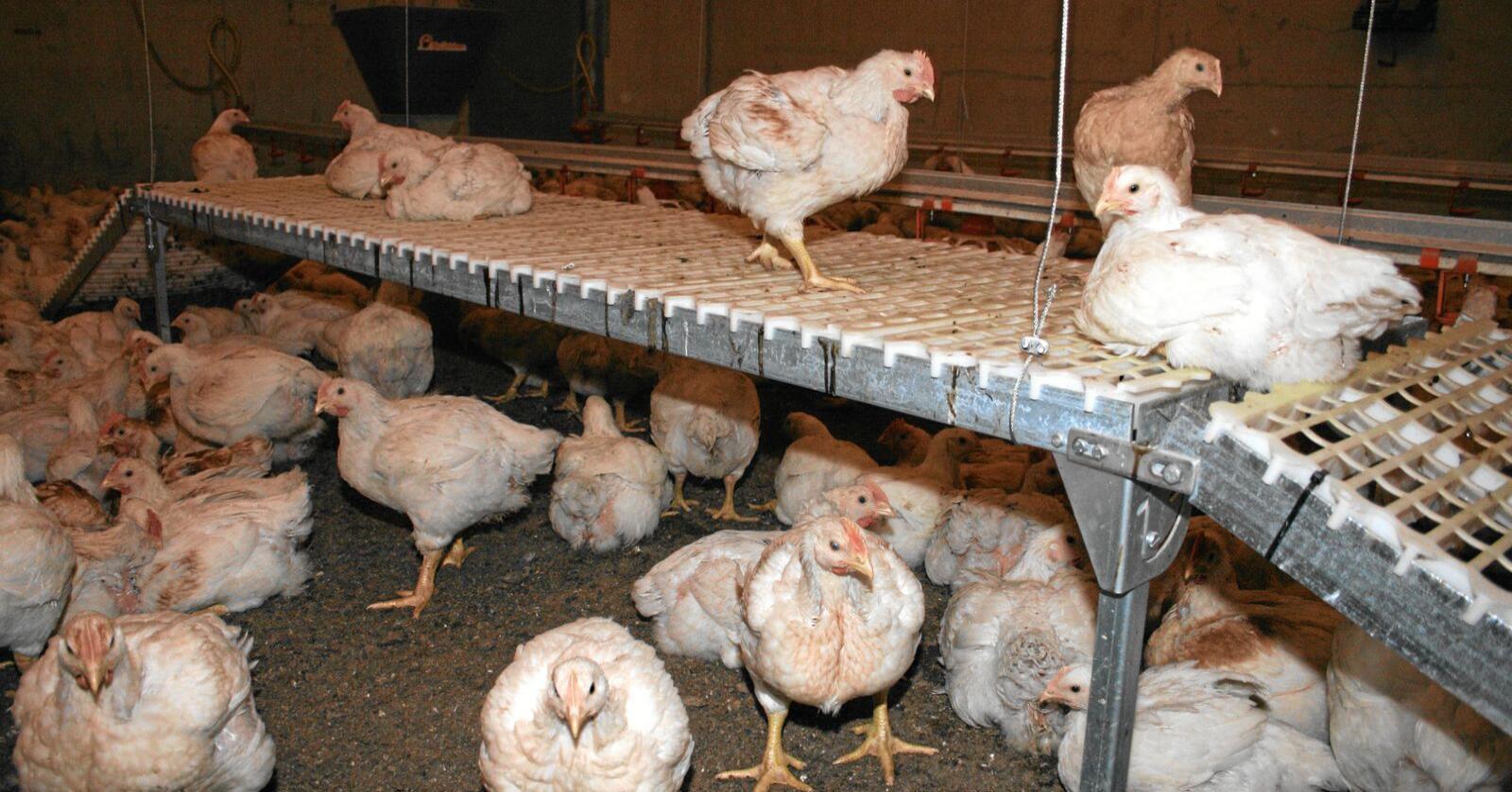 Priskutt: Kraftfôrblandingane med høgast innhald av importerte råvarer og protein, som blant anna går til oppdrett av slaktekylling, er blant typane med størst prisvekst siste månadene. Det er også der priskuttet er størst nå. Foto: Bjarne Bekkeheien Aase