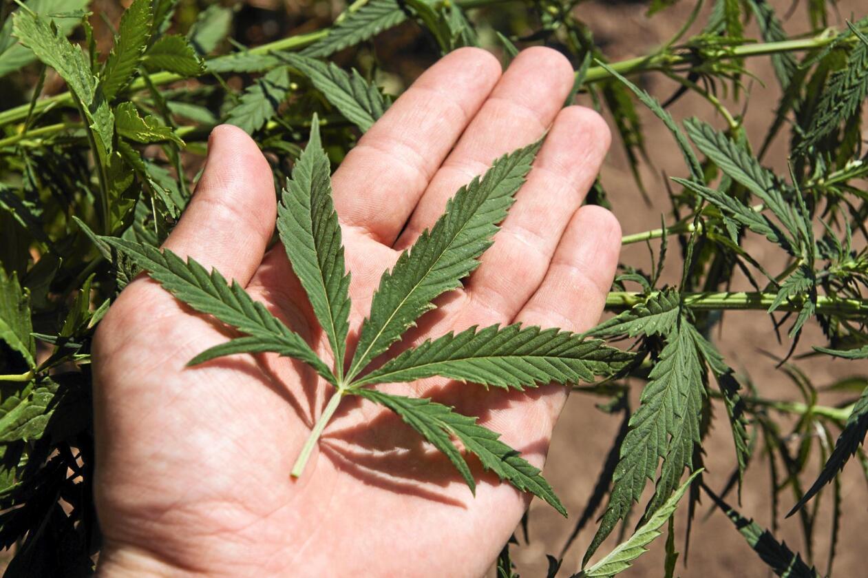 Nylig har et politisk flertall besluttet å sette i gang et forsøksprosjekt med cannabis som smertelindrende medisin for om lag 1.500 kronisk syke pasienter i Danmark. I den sammenheng mener organisasjonen Landbruk & Fødevarer at planten bør dyrkes i Danmark. Foto: Colourbox