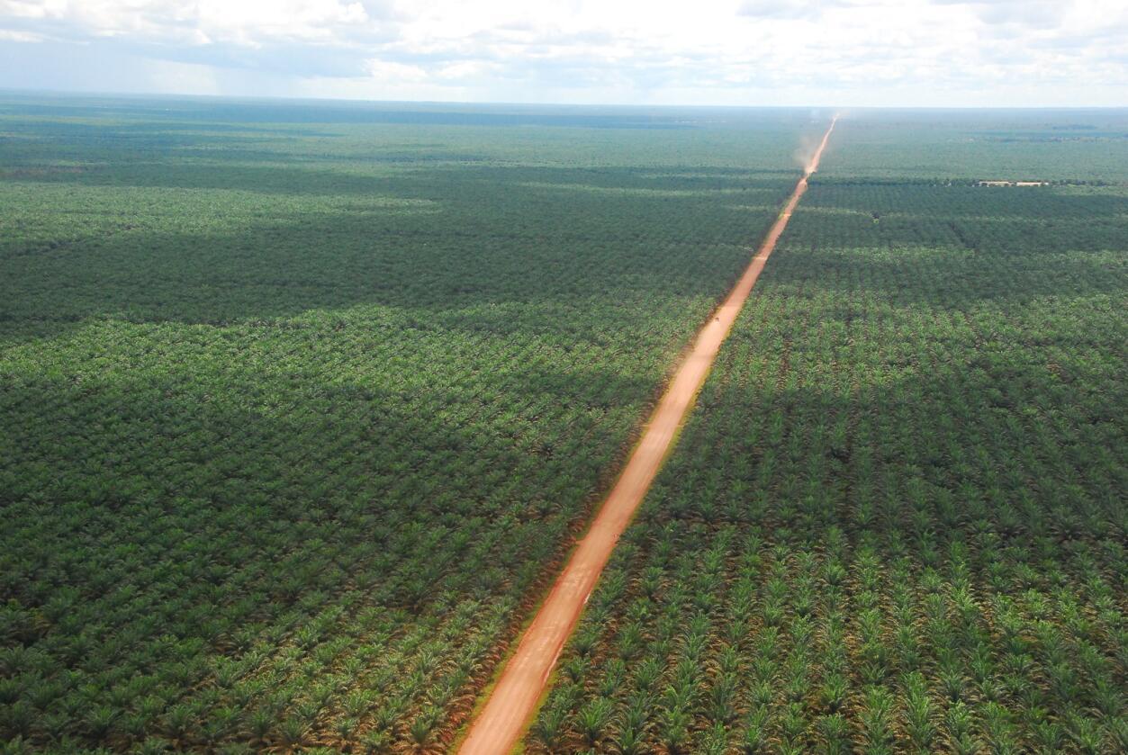 Palmeoljeproduksjon er en stor utfordring for regnskogen i Sørøst-Asia. Her bilder fra Indonesia.