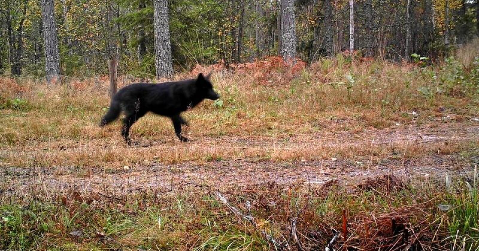 En av ulvehybridene som ble fotografert med viltkamera i fjor høst. Foto: Länsstyrelsen i Södermanlands län