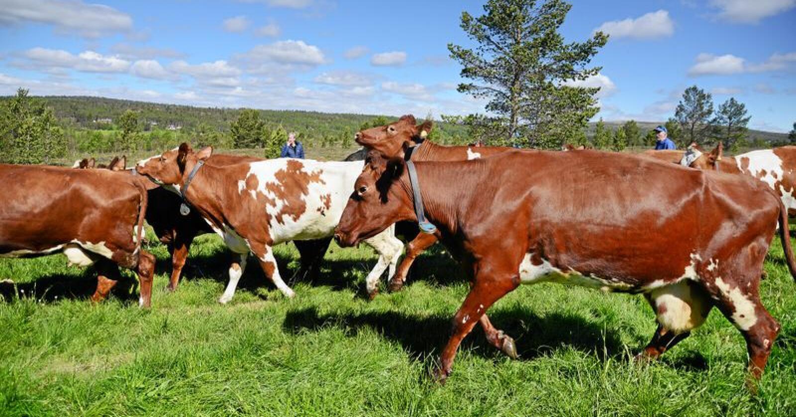 Bildet viser økologisk melkekyr på Røros. Foto: Mariann Tvete