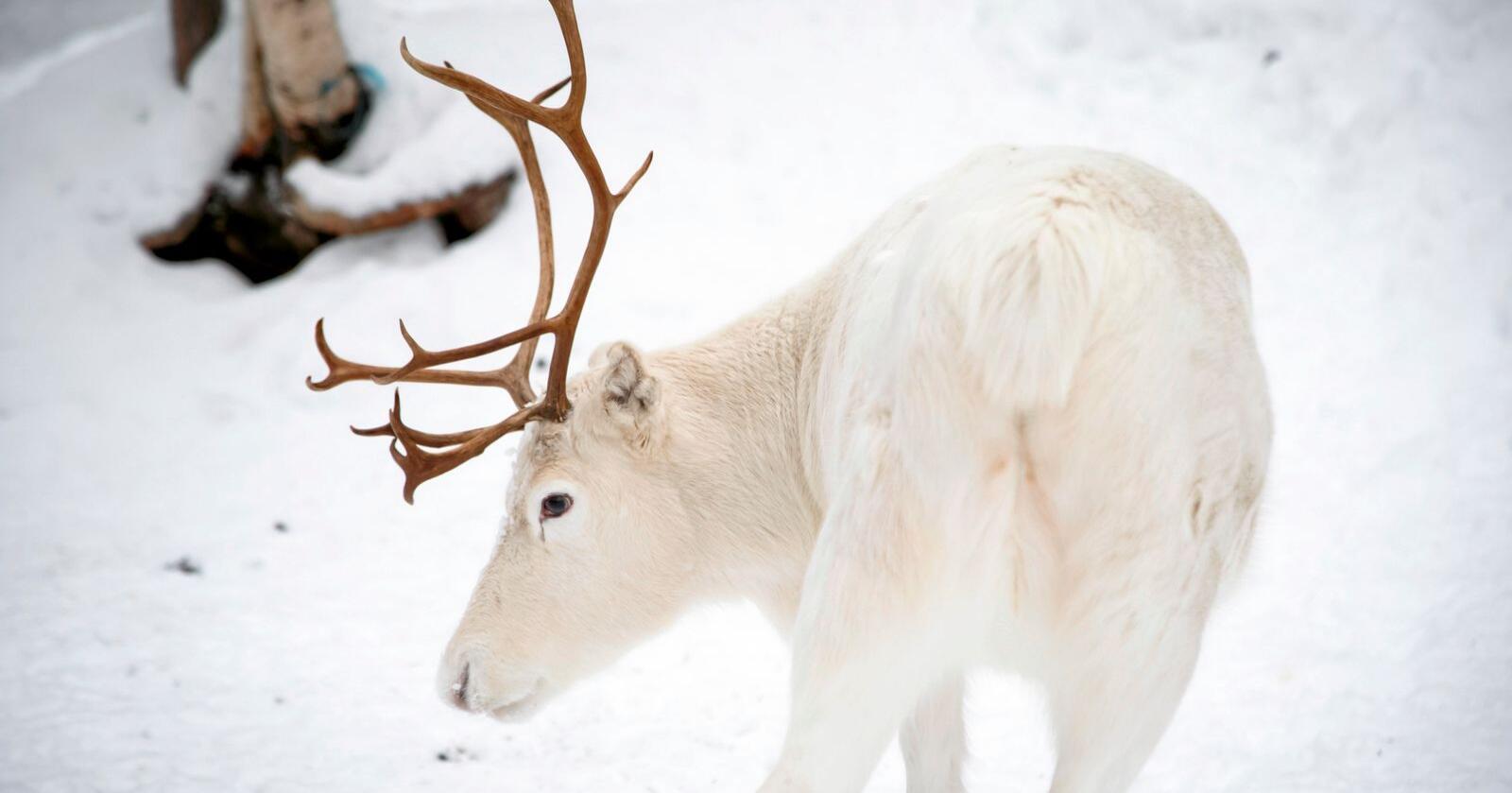 Et reinsdyr i Karasjok. Arkivfoto: Heiko Junge / NTB scanpix