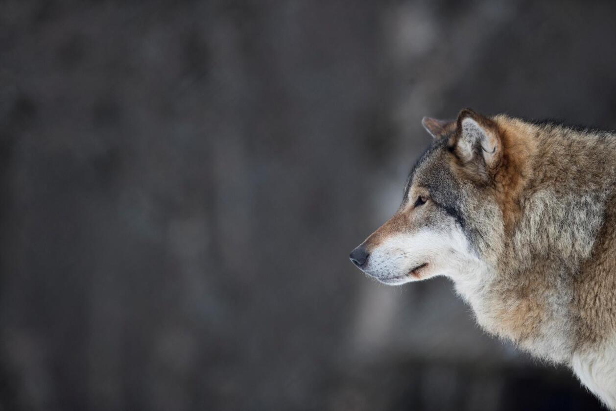Lisensfellingsperioden innenfor ulvesonen gjelder fra 1. januar til og med 15. februar 2018. Fellingsperioden av ulv utenfor sonen er fra 1. oktober i år til 31. mars 2018. Foto: Heiko Junge / NTB scanpix