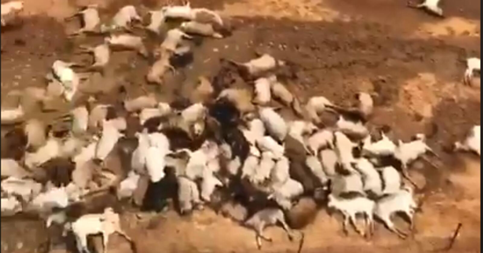 En Facebook-video viser døde kyr som ligger døde etter at vannmassene har trukket seg tilbake. Skjermdump: Facebook/Sarah Macartney