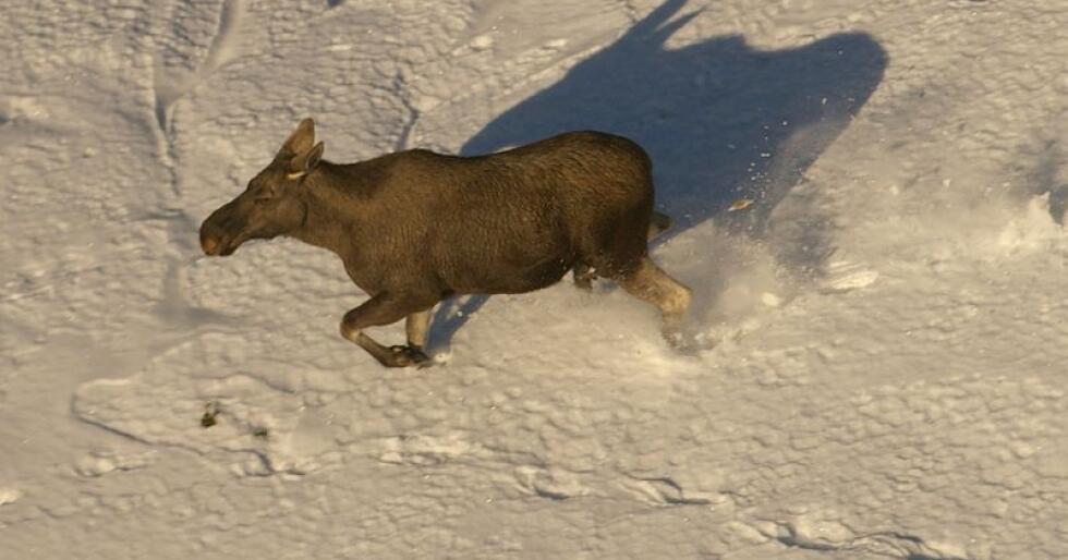 Skrantesjuke er dødeleg for hjortedyr, men han har så langt ikkje smitta til menneske, verken frå dyr eller kjøtt. Denne elgen er ikkje smitta av sjukdommen. (Foto: Karen Marie Mathisen)
