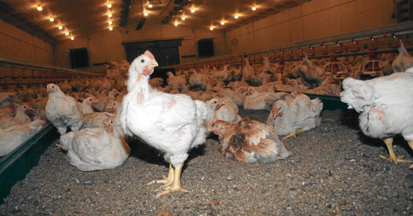 Kyllingrekord: Produksjonen av slaktekylling auka med 9,9 prosent eller over 8800 tonn i fjor og sette med det ny rekord med god margin. Foto: Bjarne Bekkeheien Aase