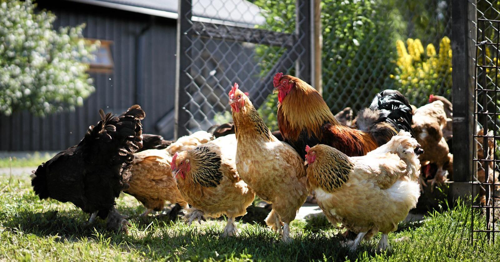 Dyrevernalliansen har i årevis vore «verst i klassen», når det gjeld å lura forbrukarane i forhold til dyrevenleg eggproduksjon, skriv Lars Sigmundstad. Foto: Benjamin Hernes Vogl