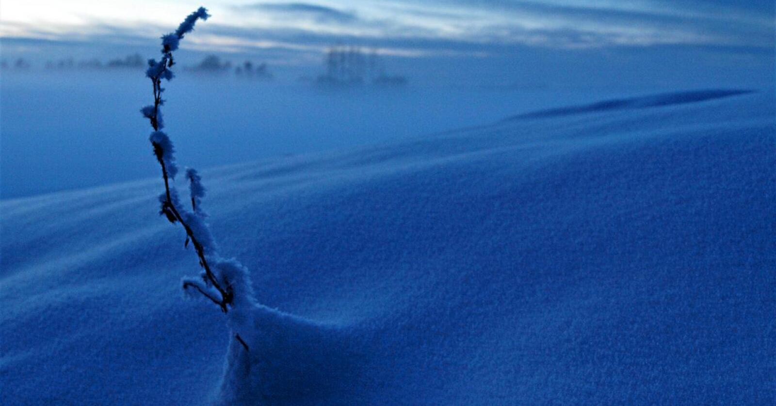 Snøen er naturens dunjakke. (Foto: Siri Bjoner)