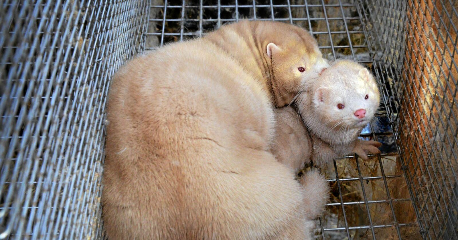 I Finland utvikler man en egen vaksine for mink for å redde landets pelsdyrnæring. Illustrasjonsfoto: Siri Juell Rasmussen