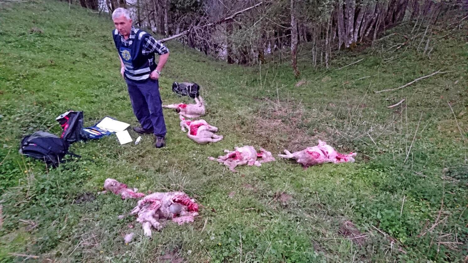 Jan Kåre Lier fra Statens Naturoppsyn på stedet det 20 sauer ble tatt av ulv i Askim i indre Østfold i midten av mai. Foto: Hans Runar Kojedal / Spydeberg kommune / NTB scanpix