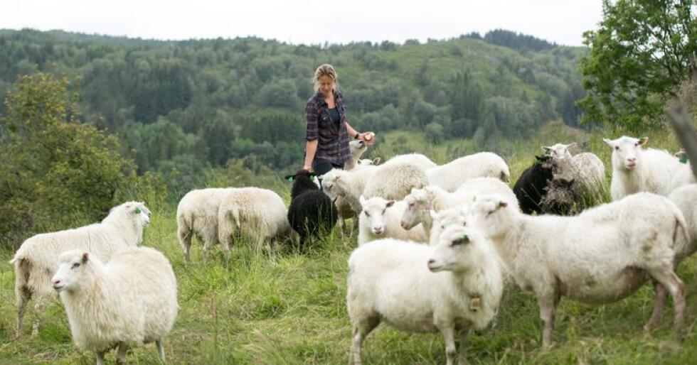 Satsar vidare: Kjersti Linn Hopland og mannen sender sauene til slakt hos Nortura i Førde, som nisjeslakt, og tar alt tilbake. Kjøtvarene sel dei i fleire lokale butikkar. (Foto: Annebilder)